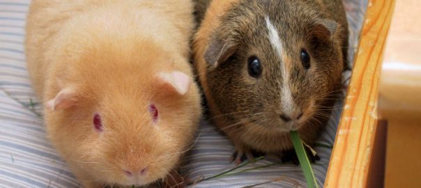 How to introduce a guinea pig to its new pack
