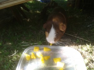 can guinea pigs eat yellow peppers