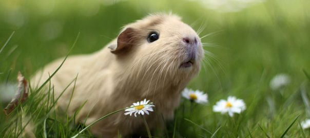 Can Guinea Pigs Walk on Wire Bottom Cages