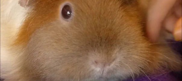 Why Do Guinea Pigs Sleep With Their Eyes Open?